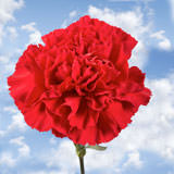 200 Cheap Red Carnations                                                              For Delivery to Tennessee