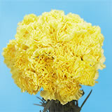 100 Stems of Yellow Carnations