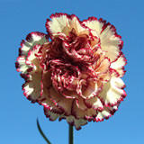 200 Stems of Cream with Red Edges, Tamesis Carnations