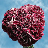 200 Dark Red with White Outer Petals Minerva Carnations