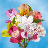 240 Blooms of Your Choice of Color Fancy Alstroemerias 60 Stems                                                              For Delivery to Massachusetts