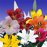 40 Stems of Assorted Color Asiatic Lilies 160 Blooms