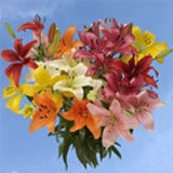 28 Blooms of Assorted Color Asiatic Lilies 8 Stems