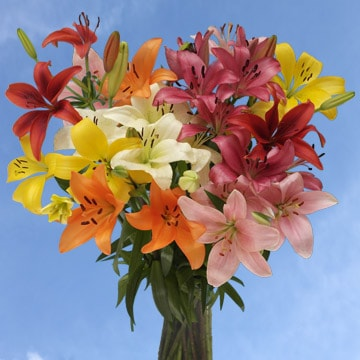 Assorted Color Asiatic Lilies Choose Your Quantity From 8 to 120 Flowers