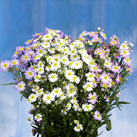 Assorted Aster Flowers Choose Your Quantity From 60 - 220 Flowers