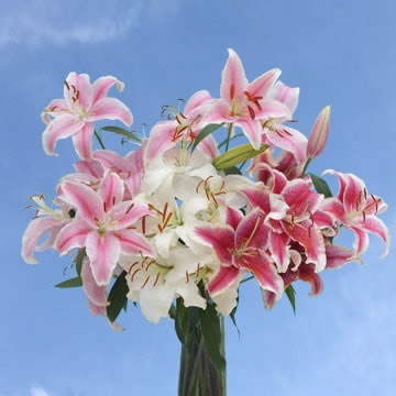 Assorted Oriental Lillies Choose Your Quantity From 35 - 400 Blooms: 10  to 100 Flowers                                                              For Delivery to Arizona