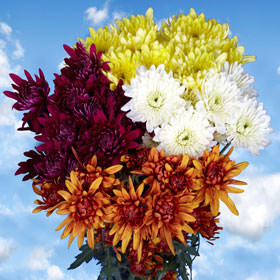 Assorted Colors Cushion Pom Poms Choose Your Quantity 72 - 576 Blooms: 18 - 144 Chrysanthemums Flowers                                                              For Delivery to Wyoming