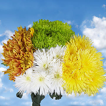 Assorted Color Fuji Spider Mums Choose Your Quantity From 50 to 200 Flowers