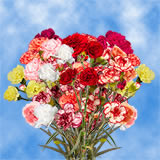 Assorted Colors Spray Carnations Choose Your Quantity From 100 to 300 Spray Carnations