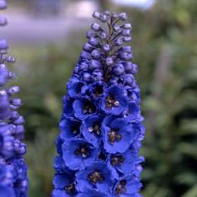 Assorted Delphinium Flowers Choose Your Quantity From 30 - 120 Flowers                                                              For Delivery to Wisconsin