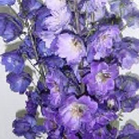Assorted Delphinium Hybrid  Choose Your Quantity From 60 - 120 Flowers