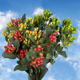 Assorted Color Hypericum Flowers Choose Your Quantity From 240 - 1920 Blooms: 30  - 240 Flowers
