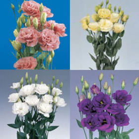 Assorted Lisianthus Choose Your Quantity From 160 - 640 Blooms: 40 - 160 Flowers