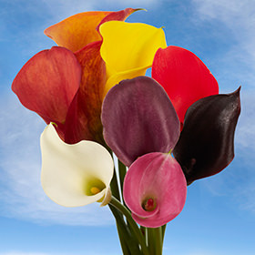 Assorted Calla Lilies Choose Your Quantity From 10 - 240 Flowers