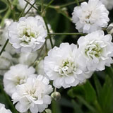 Gypsophilia's Choose Your Quantity From 30 - 240 Stems                                                              For Delivery to Kentucky