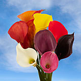 60 Stems of Assorted Color Calla Lilies