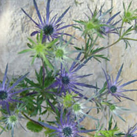Eryngium Choose Your Quantity From 70 - 400 Blooms: 20 - 200 Flowers