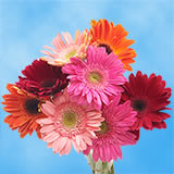 100 Stems of Fall Color Gerberas