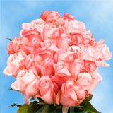 75 X Long Stems of Light Pink, Livia Roses