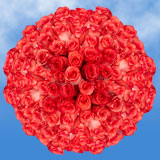 150 X Long Stems of Bright Coral, High & Blooming Roses