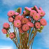 180 Stems of Pink Asters Matsumoto 720 Blooms