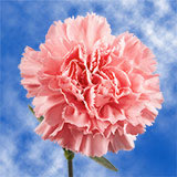 200 Stems of Pink Carnations