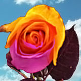 100 Purple &Orange Rainbow Roses
