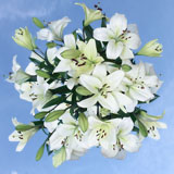 20 Stems of White Asiatic Lilies 80 Blooms