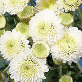 144 Stems of White Button Pom Poms 576 Blooms