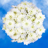 144 Stems of White Cushion Pom Poms 576 Blooms                                                              For Delivery to New_York