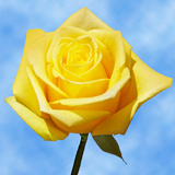 Bright Yellow Choose Your Quantity From 50 to 250 Brighton Roses                                                              For Delivery to Arkansas
