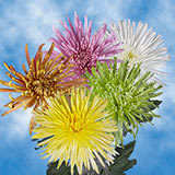 100 Stems of Assorted Color Fuji Spider Mums