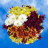 144 Stems of Assorted Color Cushion Pom Poms 576 Blooms