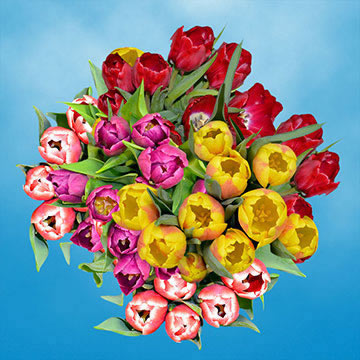 100 Stems of Assorted Color Tulips