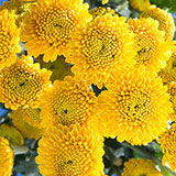 144 Stems of Yellow Button Pom Poms 576 Blooms