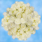 100 Stems of White, Proud Roses