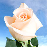 100 Stems of Peach, Osiana Roses                                                              For Delivery to New_Jersey