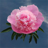 60 Stems of Pink Peonies                                                              For Delivery to Pennsylvania