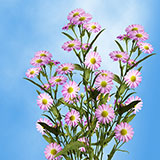 100 Stems of Pink Asters