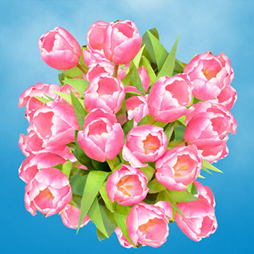 Pink and White Tulips Choose Your Quantity From 30 - 200 Flowers
