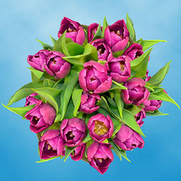 Purple Tulips Choose Your Quantity From 30 - 200 Flowers