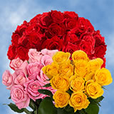 250 Stems of Roses 125 Red & 125 Five Colors