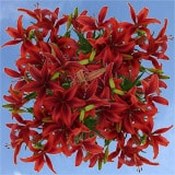 120 Stems of Red Asiatic Lilies 480 Blooms