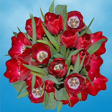 Red Tulips Choose Your Quantity From 30 - 200 Flowers