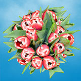 Red and White Tulips Choose Your Quantity From 30 - 200 Flowers