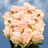 75 X Long Stems of Soft Pink, Sophie Roses
