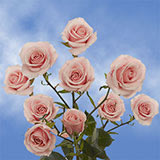 100 Stems of Pink Spray Roses 350 Blooms