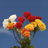 100 Stems of Assorted Color Spray Roses 350 Blooms