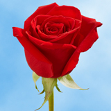 Dark Red Roses Choose Your Quantity From 50 to 250 Black Magic Roses