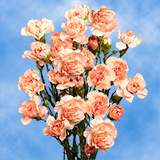 Orange Spray Carnations Choose Your Quantity From 400 - 1200 Blooms: 100 to 300 Spray Carnations